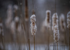 The 'Rushes of Winter